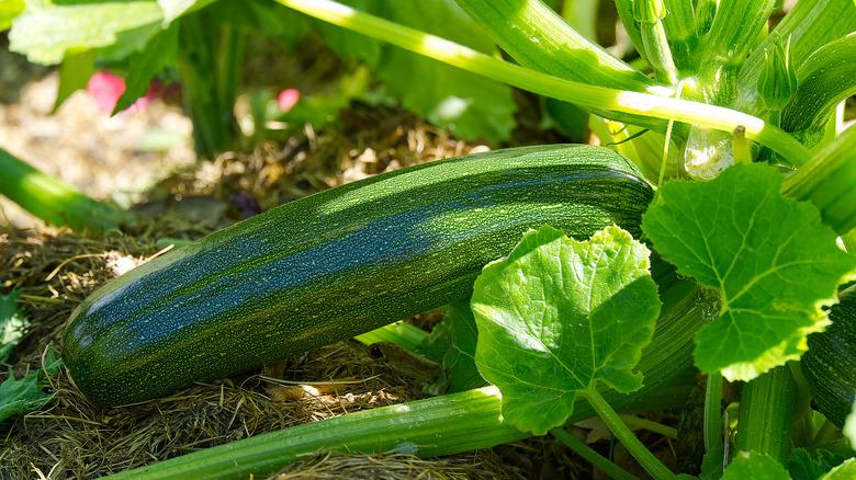 zucchini on plant