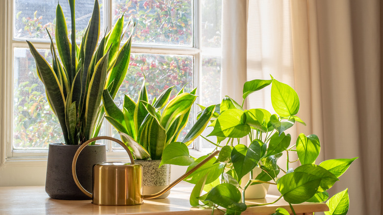 watering can and houseplants