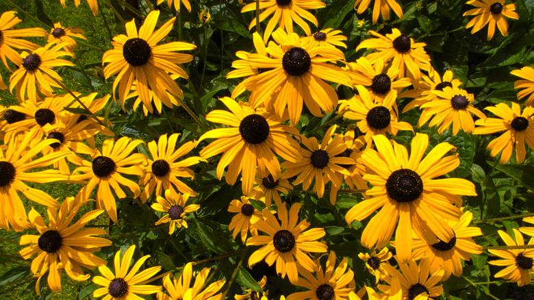 Black-eyed Susans in Garden
