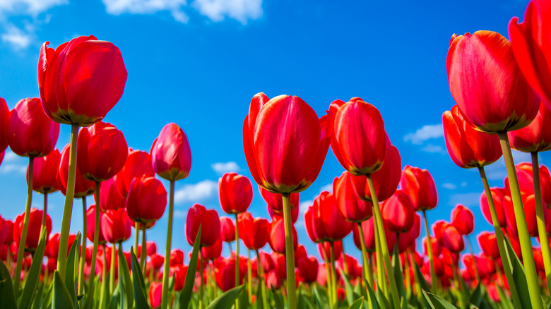 Red tulips and sky