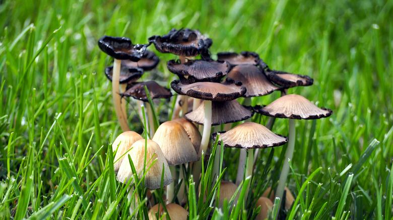 Cluster of mushrooms in yard