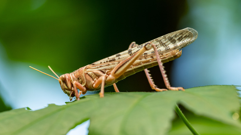 cricket sitting a leaf
