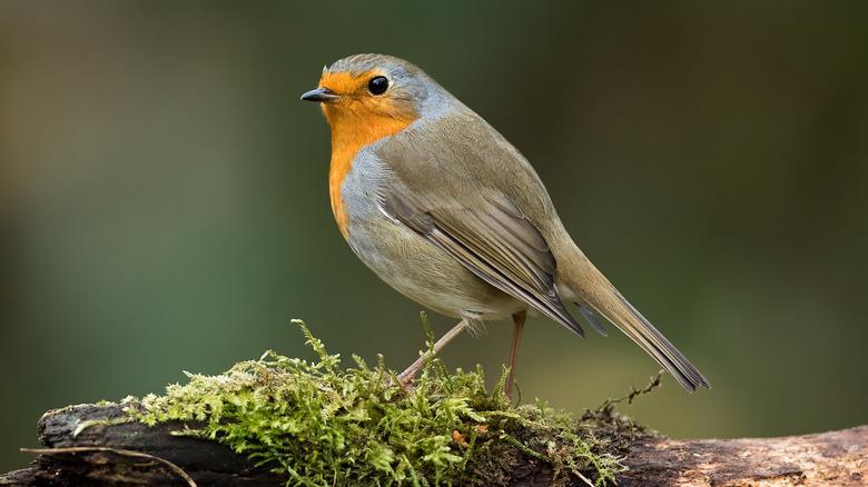 robin sitting on a branch