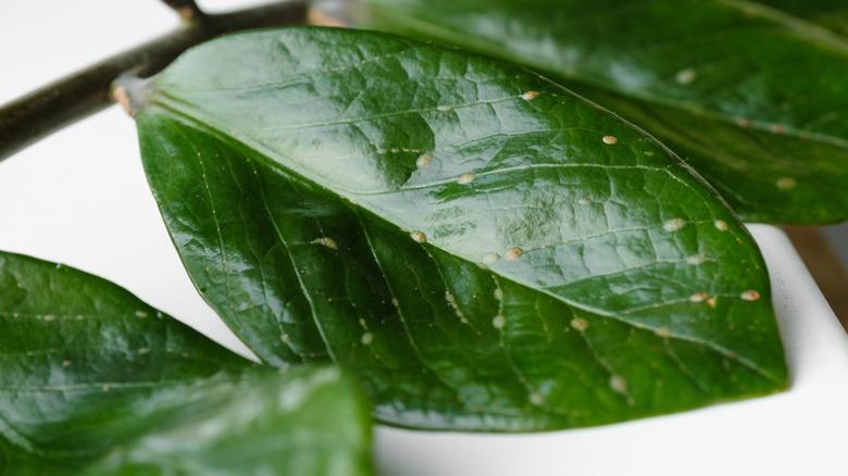 scale plant leaf