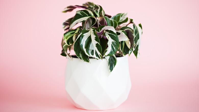 Calathea in a white pot