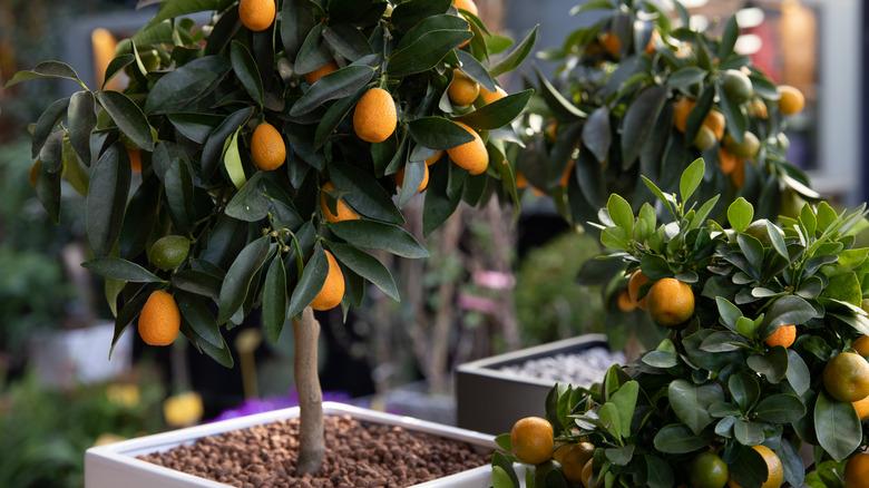 Dwarf orange trees