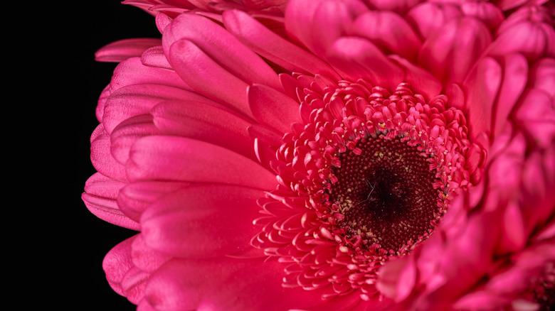red gerbera daisy close-up