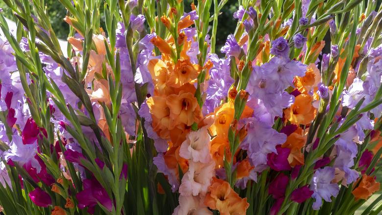 Cluster of gladiolus