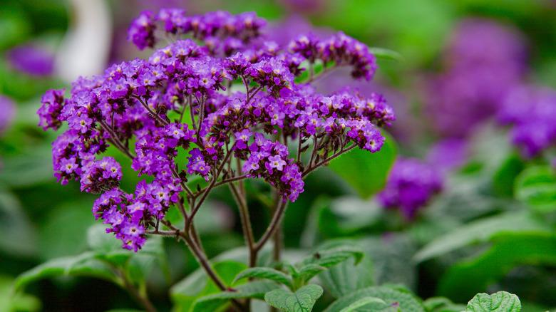 Heliotrope blossom close-up