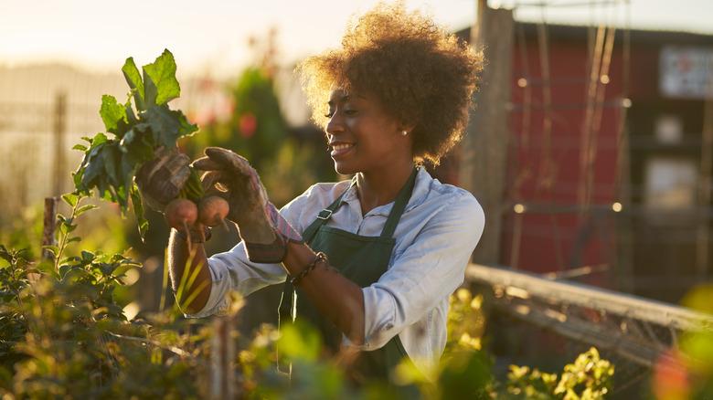 woman harvesting beets