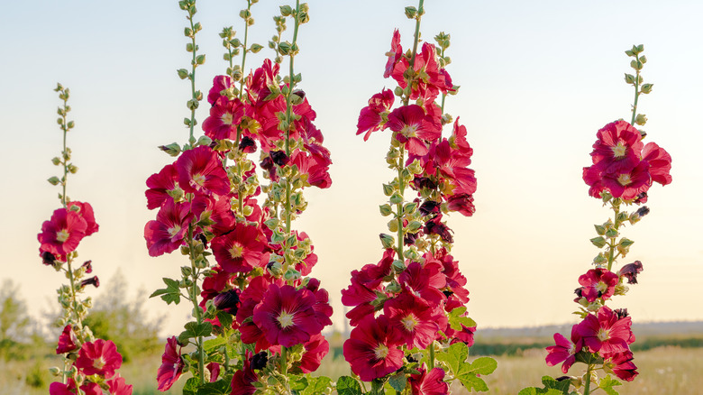 Group of red hollyhocks