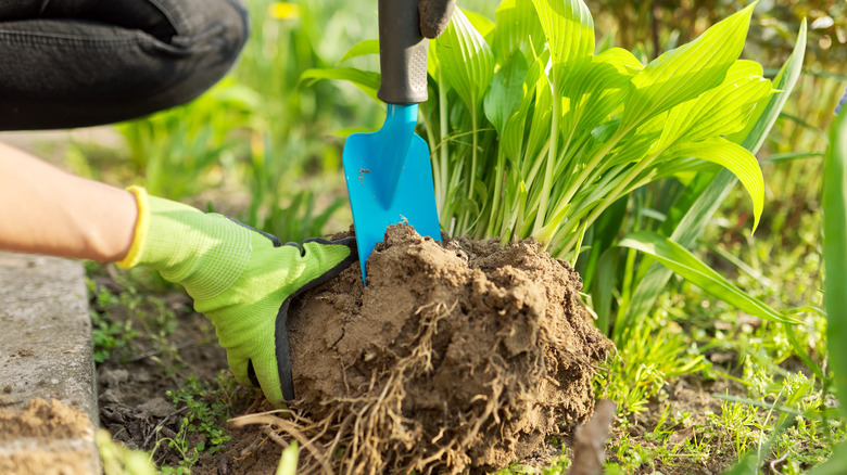 gardener dividing hosta