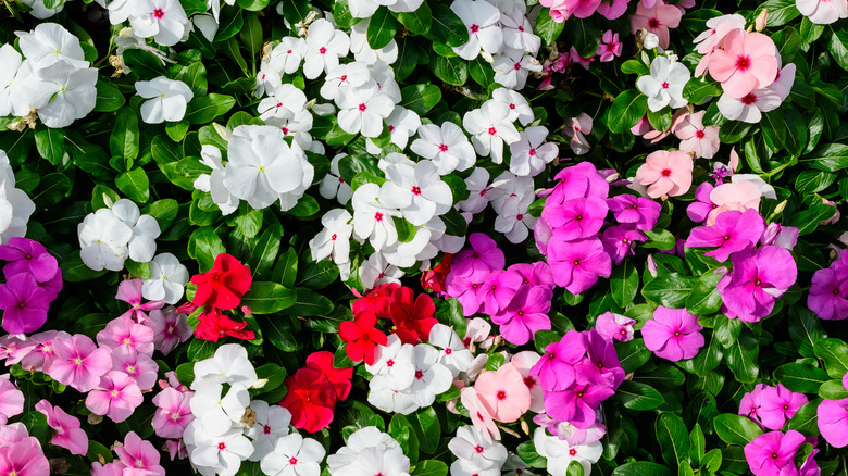 white, purple, pink and red impatiens
