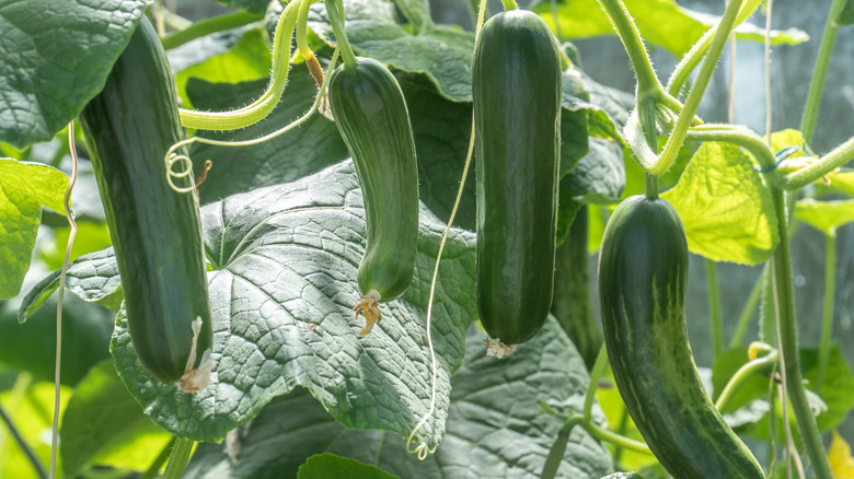 Cucumbers ready to be harvested