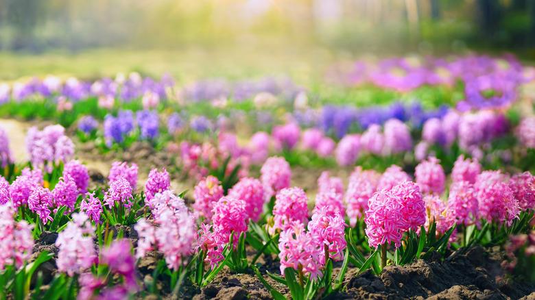 Flower beds of hyacinths