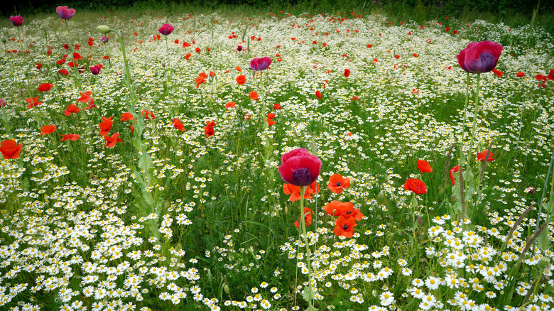 Red and purple poppies with daisies in a field