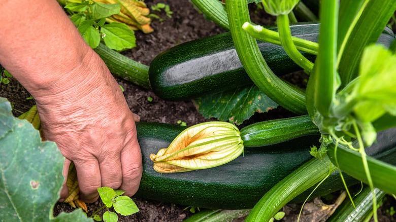 A hand harvesting zucchini