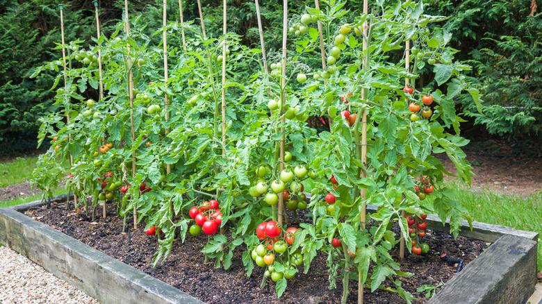 Tomatoes in garden bed