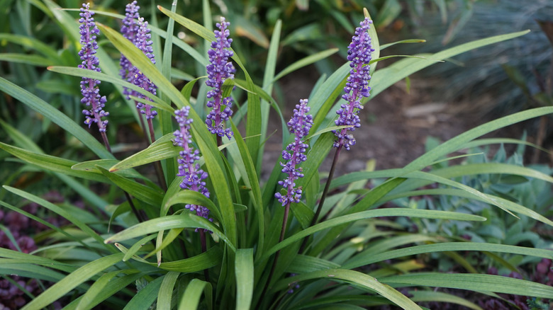 monkey grass with purple flowers