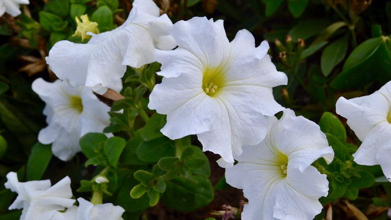 Moonflowers in the garden