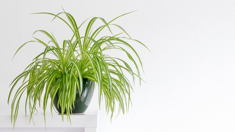 spider plant on shelf