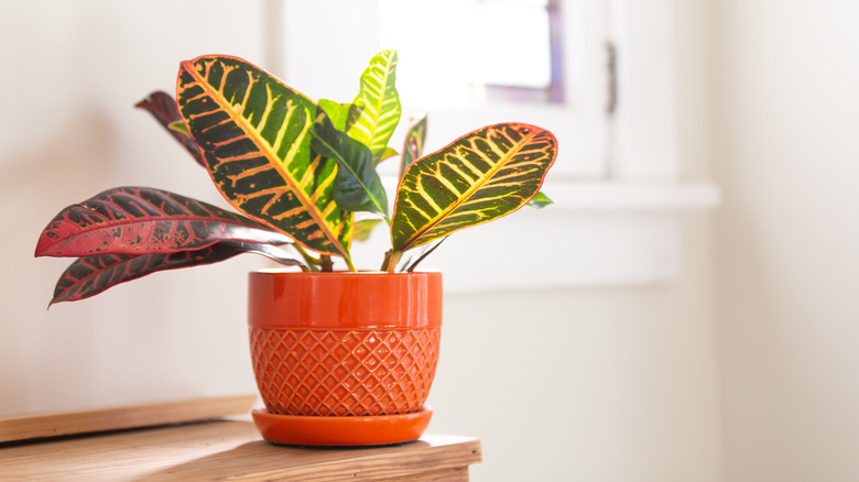 Green yellow and red croton plant in pot