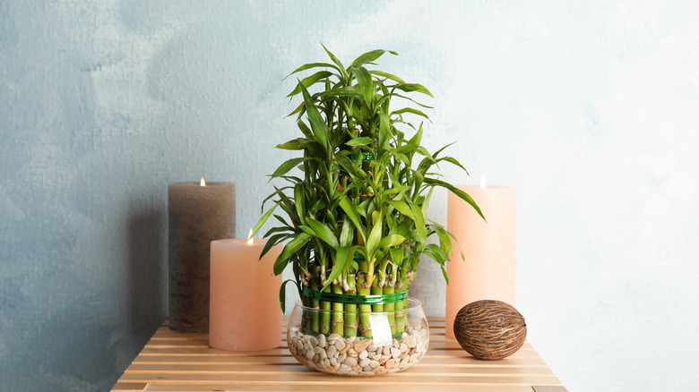 Lucky bamboo plant on a table