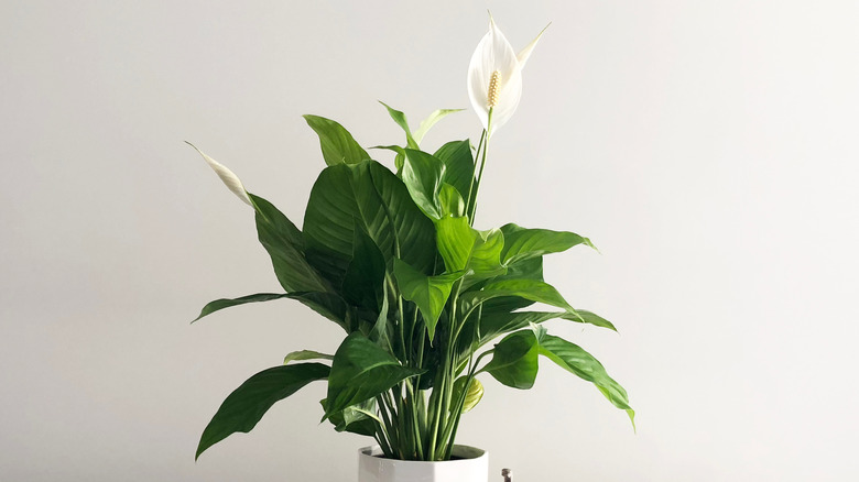 Thriving peace lily with two white flowers blooming