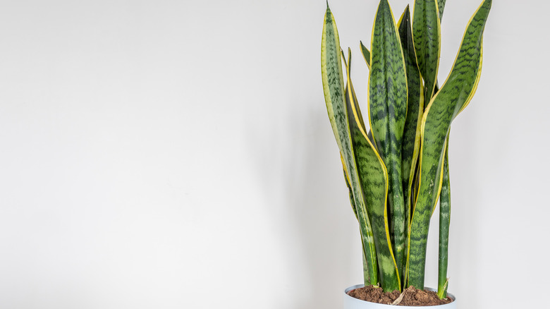 snake plant in white pot