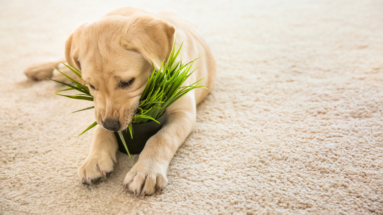 puppy chewing on houseplant