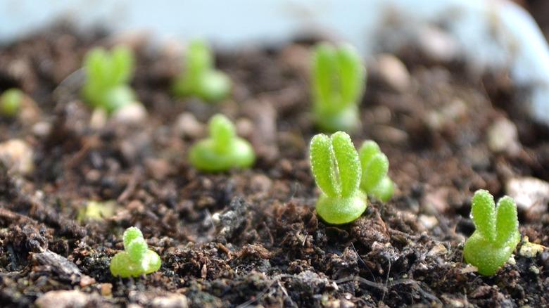 Bunny ear succulents in soil