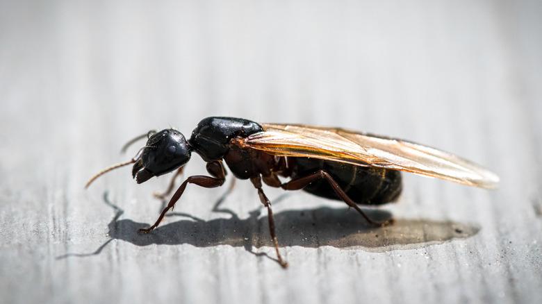 Flying carpenter ant