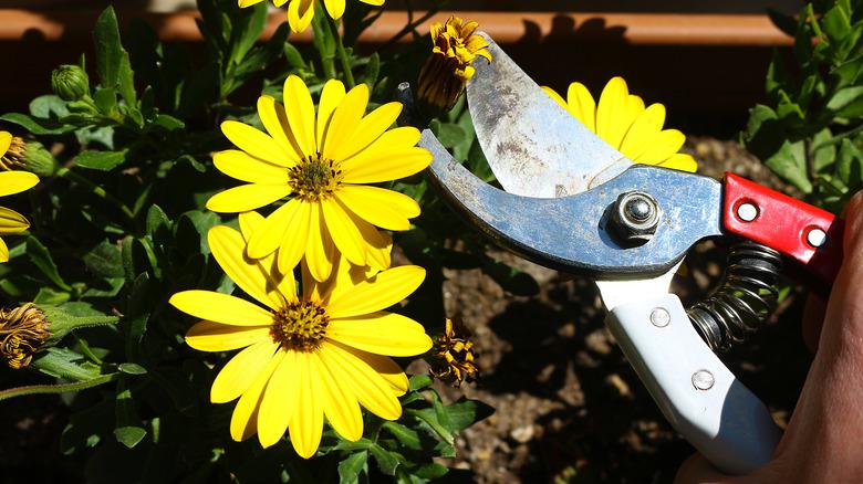 Gardener deadheading flowers